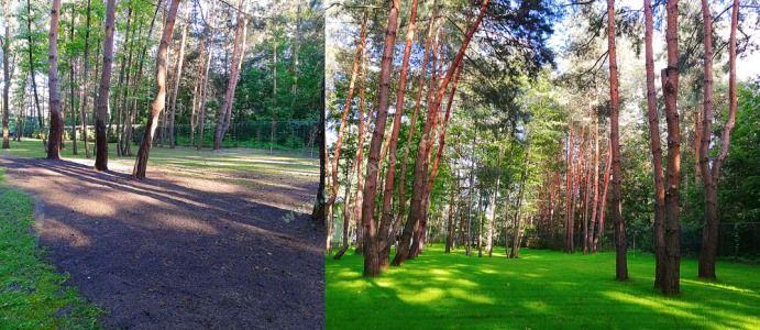 Пример посевного спортивного газона в сосновом лесу.