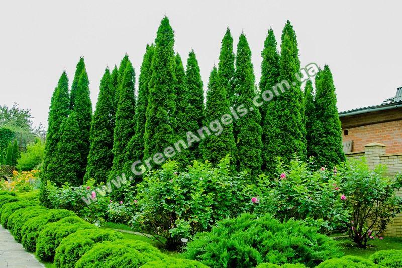 Фото туй Смарагд в озеленении