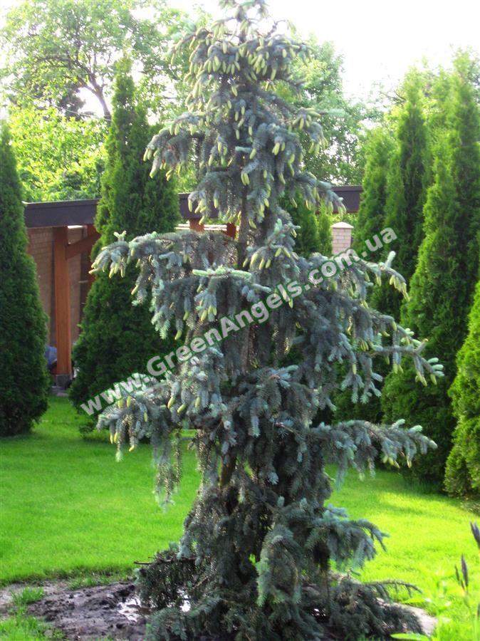 Эксклюзивные хвойные растения в озеленении.