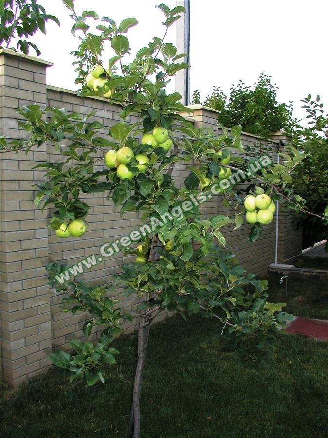 Плодовые деревья. Лучшие, проверенные сорта.