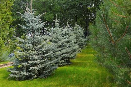 Выгодное предложение по хвойным деревьям