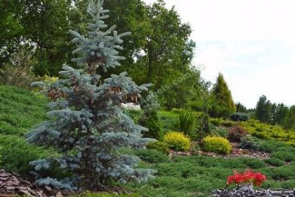 Защита хвойных растений