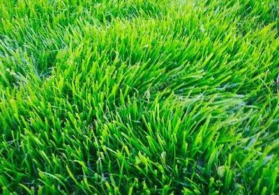 Как вырастить идеальный газон.